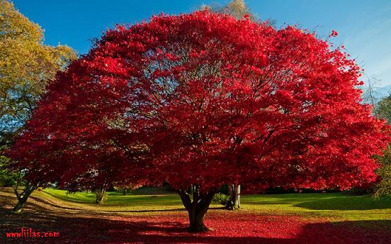 الأشجار الحمراء باوليمبيا Olympia tree