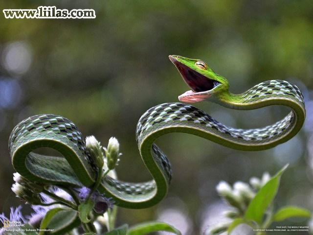 الخضراء vine snake